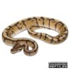 Baby Mystic Spider Ball Python Het Ghost (Male)