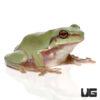 Baby Australian Blue Dumpy Tree Frog