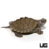 Baby False Map Turtle