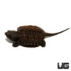 Baby Florida Snapping Turtle