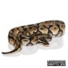 Baby Pastel Enchi Ball Python (Male)
