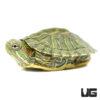 Baby Rio Grande Red Ear Slider Turtle
