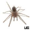 .5 - 1 Inch Cuban Bronze Tarantula
