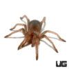 .75 - 1 Inch Mexican Giant Red Knee Tarantula