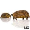 Northern Zombensis Hingeback Tortoise