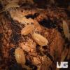 """Porcellio Laevis """"Orange"""" Isopods -- 10 Count"""