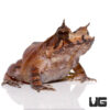 Solomon Island Eyelash Leaf Frog