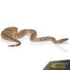 White San Isabel Island Ground Boa #12 (Female)