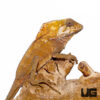 Smooth Helmeted Iguana