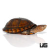 Adult Red Cheeked Mud Turtle