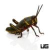 Baby Eastern Lubber Grasshopper