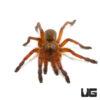 .5 - .75 Inch Golden Blue Leg Baboon Tarantula