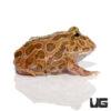 Brown Pacman Frog