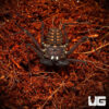 Central American Tailless Whip Scorpion