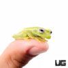 Fleischmann's Glass Tree Frog