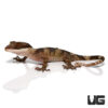 Giant Bent Toed Gecko