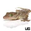 Green Eyed Gecko