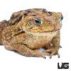 Medium Marine Toad (4 - 5.5 Inches)