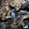 "Porcellionides Pruinosus ""Powder Blue Pied"" Isopods - 10 Count"