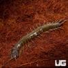 Solomon Island Giant Centipede