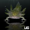 Baby Wildtype Axolotl (1-2 Inches)