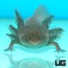Adult Wildtype Axolotl