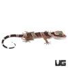 Baby Bintang Slender Toed Gecko