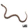 Baby Black Banded Snake