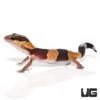 Baby Fat Tail Gecko C.B.