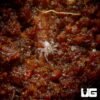 .15 - .25 Inch Baby Six Spotted Fishing Spider