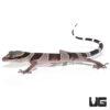 Bintang Slender Toed Gecko