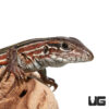 Blackbelly Racerunner Lizard