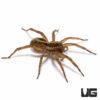 1 - 1.5 Inch Common Wolf Spider