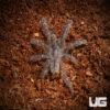 1-1.5 Inch Gooty Sapphire Ornamental Tarantula