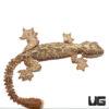 Malayan Parachute Gecko