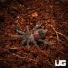 .25 - .75 Inch Mexican Red Rump Tarantula