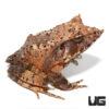 Mossy Oak Solomon Island Eyelash Leaf Frog