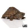Baby Razorback Musk Turtle