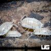 "Porcellio Laevis ""White"" Isopods -- 10 Count"