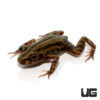 Red Leg Running Frog