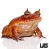 Red Solomon Island Eyelash Leaf Frog