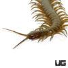 Solomon Island Giant Green Centipede