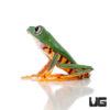 Super Tigerleg Monkey Tree Frog