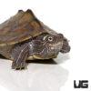 Yearling Ouachita Map Turtle