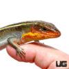Yellow Throated Plated Lizard (B-Grade)