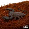 Australian Rainforest Scorpion