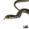 Baby Florida Blue Garter Snake