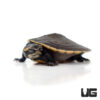 Baby Pinkbelly Sideneck Turtle