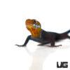 Yellow Headed Dwarf Gecko