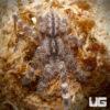 1.75 - 2.25 Inch Indian Ornamental Tarantula